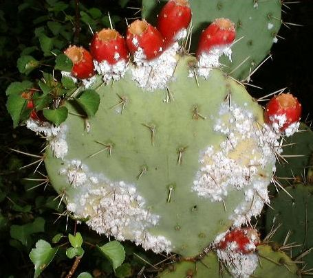 Cochineal insect colony on a prickly pear cactus